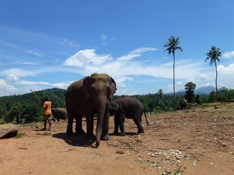 TravelXL-van-Limburg-Sri-Lanka-Pinnawela-olifantenweeshuis 1