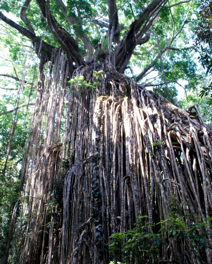 TravelXL-van-Limburg-AUSTRALIE-curtain-fig-tree-yungaburra