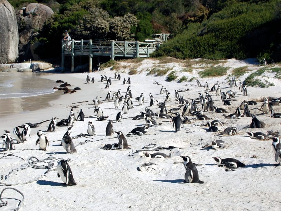 TravelXL-van-Limburg-Zuid-AFRIKA-Boulders-Beach-pinguins