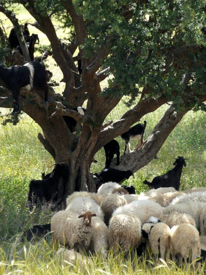 TravelXL-van-Limburg-MAROKKO-Arganboom-met-geiten