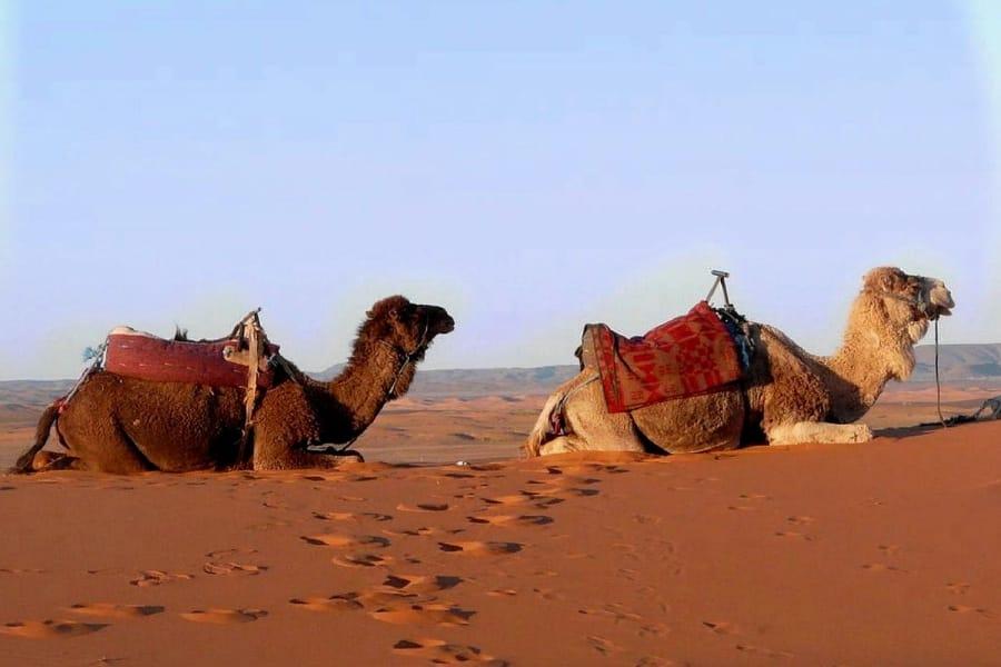TravelXL-van-Limburg-MAROKKO-kamelen