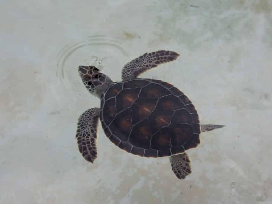 TravelXL-van-Limburg-YUCATAN-schildpad