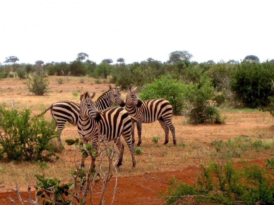 TravelXL-van-Limburg-KENIA-TsavoWest-zebra's