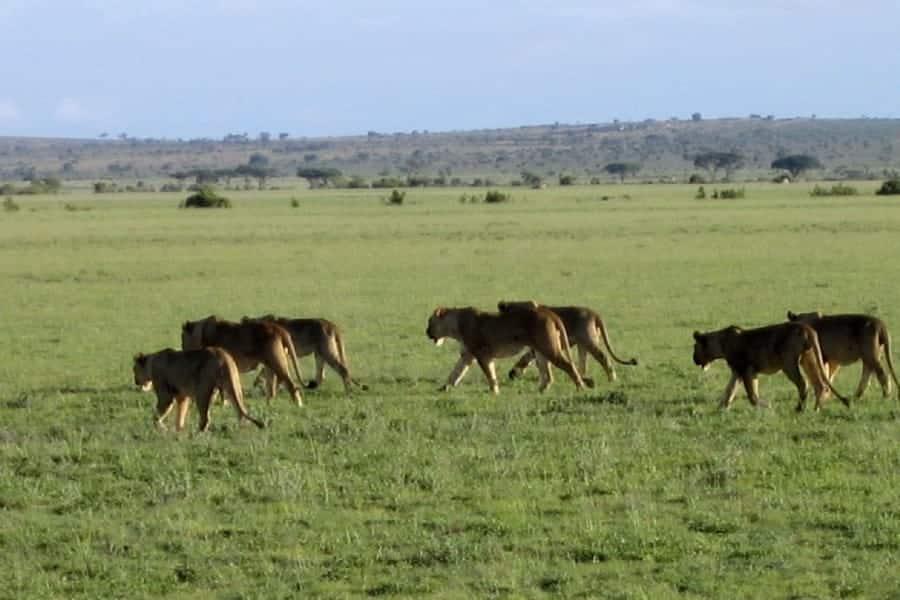 TravelXL-van-Limburg-KENIA-groep-leeuwen