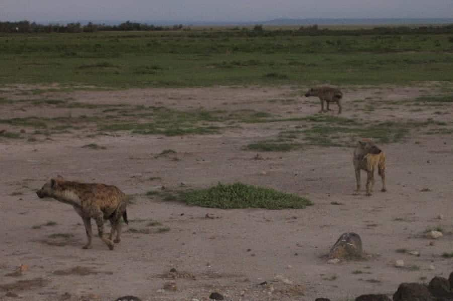 TravelXL-van-Limburg-KENIA-hyenas