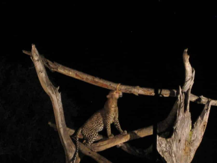 TravelXL-van-Limburg-KENIA-luipaard