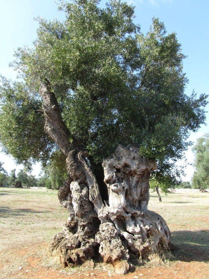 TravelXL-van-Limburg-PUGLIA-olijfboom-op-plantage