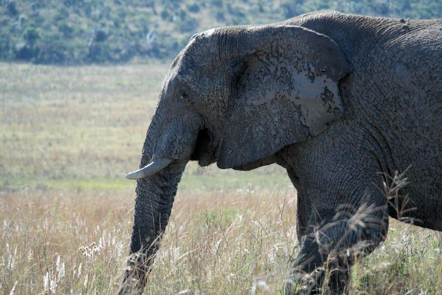 TravelXL-van-Limburg-LIMPOPO-olifant