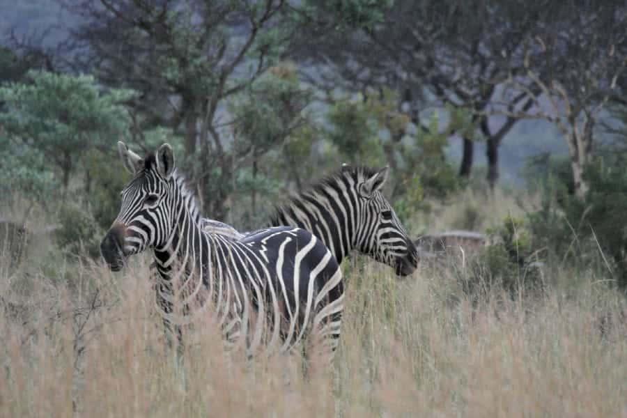 TravelXL-van-Limburg-LIMPOPO-zebra's