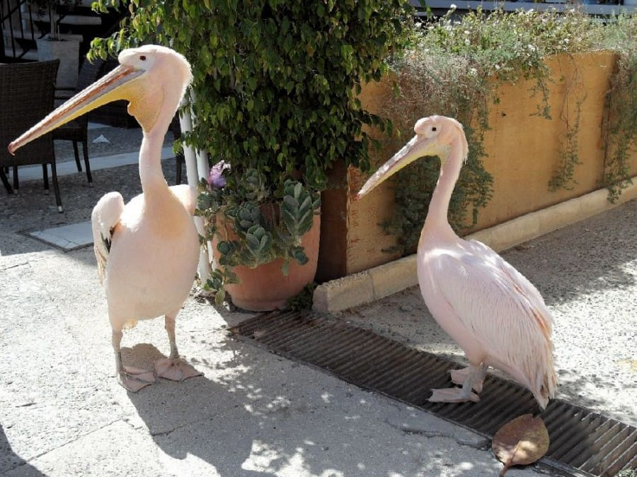 TravelXL-van-Limburg-CYPRUS-pelikanen