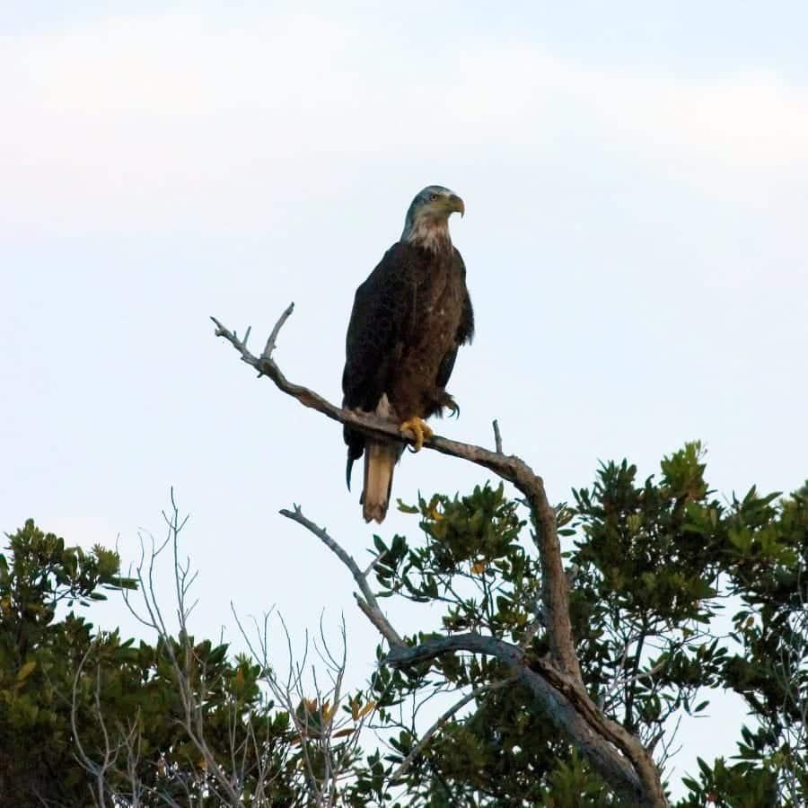 txl-usa-bald-eagle