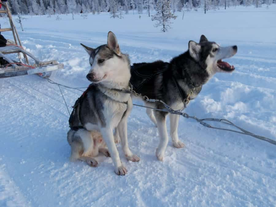 travelxl-van-limburg-fins-lapland-husky's