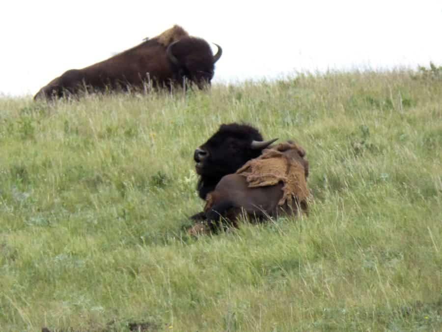 travelxl-van-limburg-canada-bison-paddock