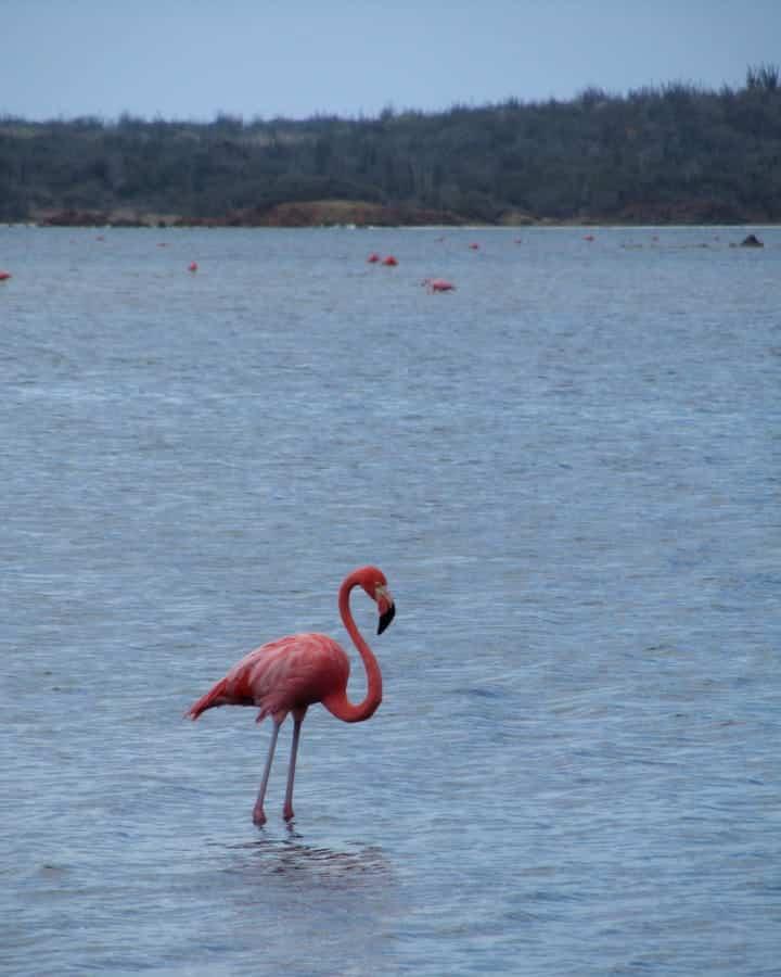 travelxl-van-limburg-bonaire-flamingos-gotomeer