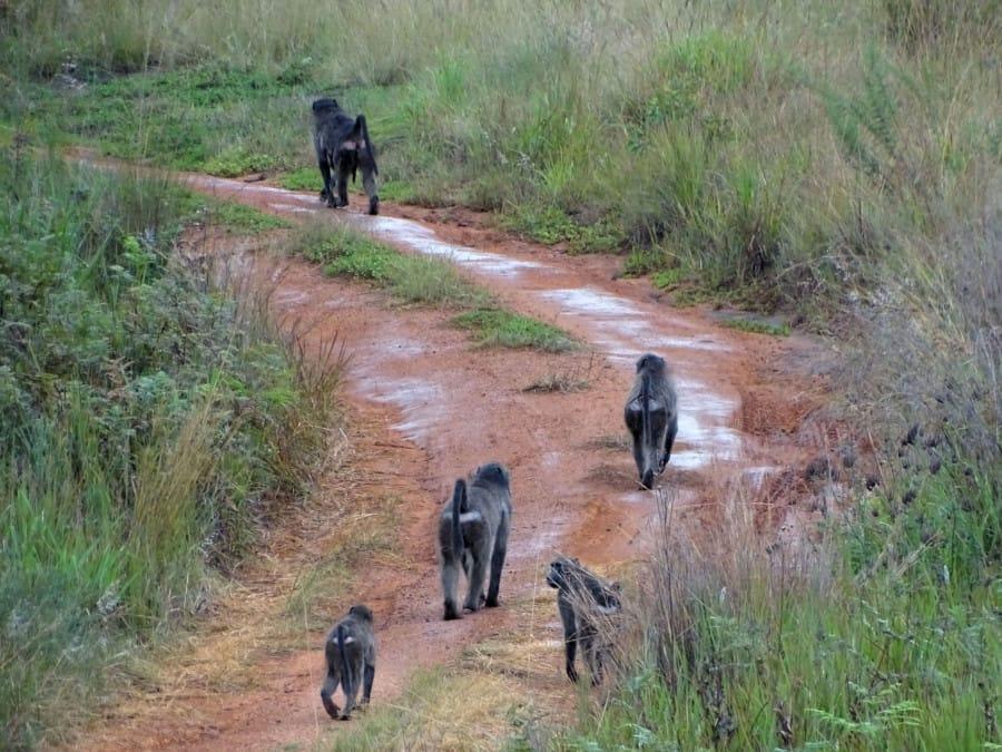 travelxl-van-limburg-zuid-afrika-welgevonden-baboons