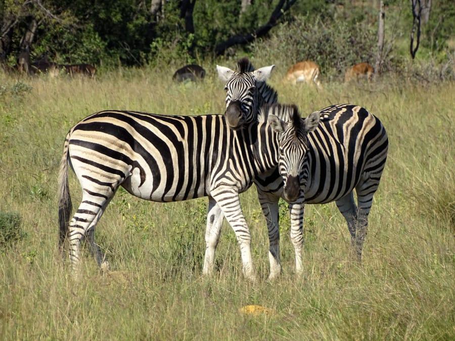 travelxl-van-limburg-zuid-afrika-zebra's