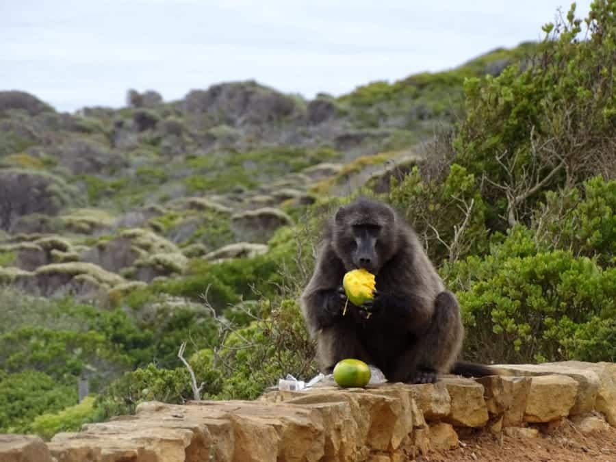 travelxl-van-limburg-zuid-afrika-kaap-de-goede-hoop-baboon