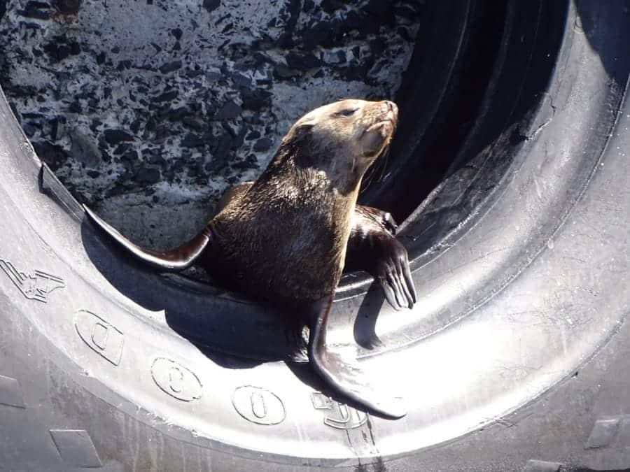 travelxl-van-limburg-zuid-afrika-kaapstad-waterfront-zeehond