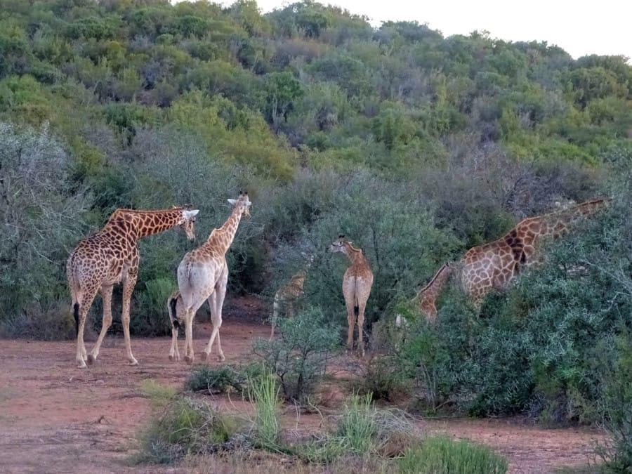 travelxl-van-limburg-zuid-afrika-oudtshoorn-gamedrive-giraffen